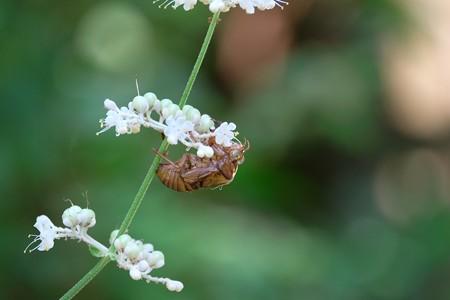2015.08.05 追分市民の森 ヤブミョウガに空蝉
