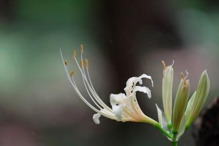 2015.09.05 瀬谷市民の森 ヒガンバナ まず一輪