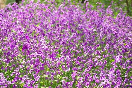 2011.04.11 皇居 北の丸公園 ハナダイコン