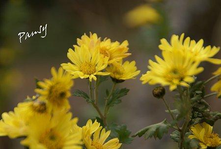 真冬の菊・・