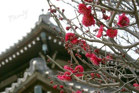紅い梅の咲く寺院・・2
