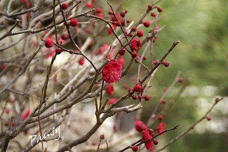 紅い梅の咲く寺院・・3