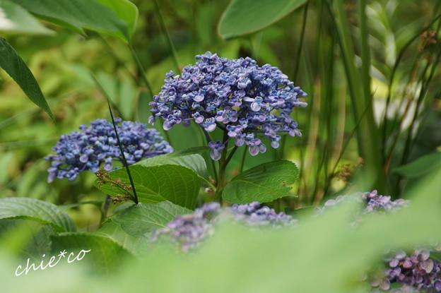 おたふく 紫陽花・・