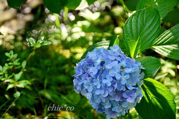 盛夏・・名残りの紫陽花・・