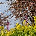 写真: pink..and yellow.. 松田山 10