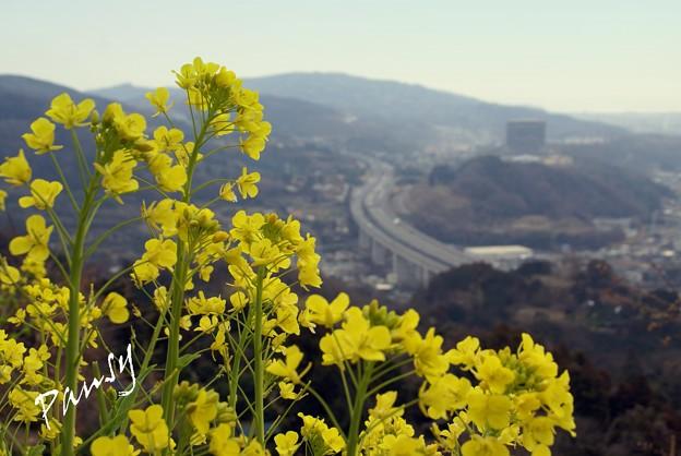写真: 丘の上の菜の花・・松田山 15