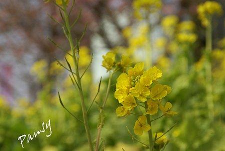 菜の花と・・桜と・・松田山 16