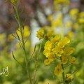 写真: 菜の花と・・桜と・・松田山 16