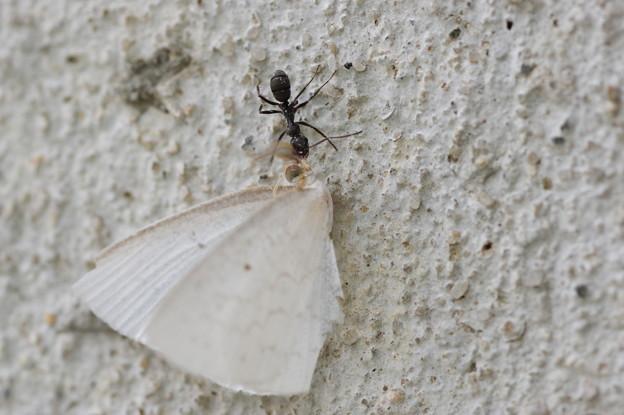 蛾を運ぶ蟻