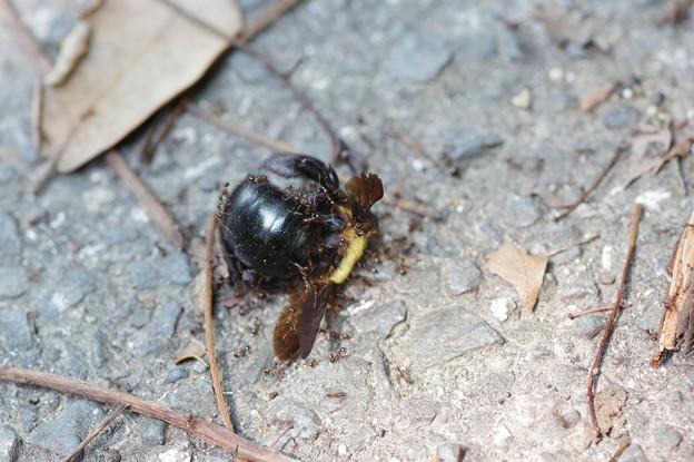 死んだクマバチに群がる蟻
