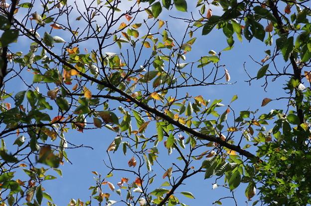 秋の気配 桜葉