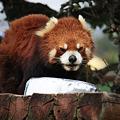 Photos: 4.3レッサーパンダ