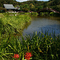Photos: 阿字池のほとりの曼珠沙華!(110924)