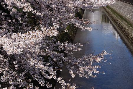 染井吉野の咲く小川2012