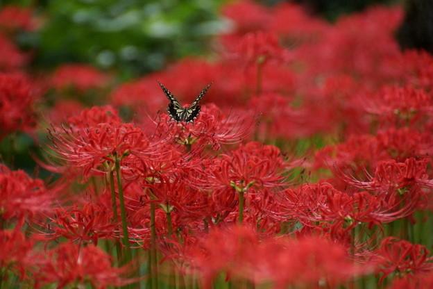 Photos: 蝶と彼岸花、2015
