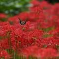 写真: 蝶と彼岸花、2015