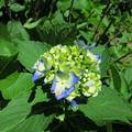 写真: 裏庭の紫陽花-3