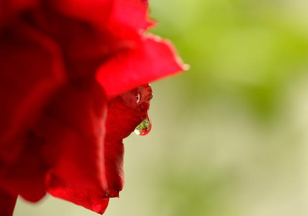 写真: 薔薇と雫