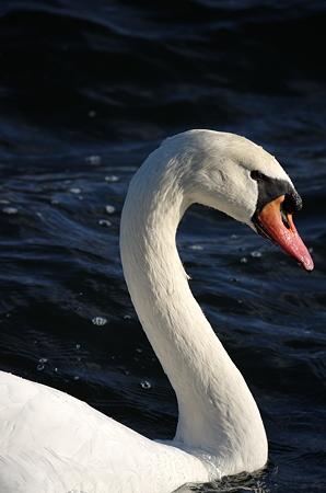 白鳥のポートレート