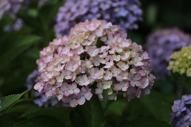 Photos: お庭の紫陽花