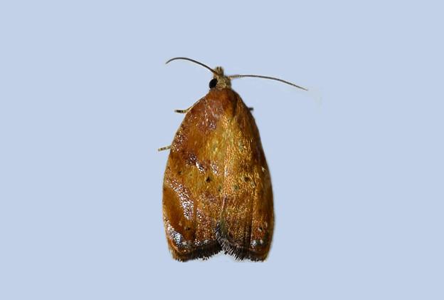セウスイロハマキ 20150608