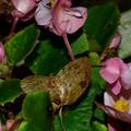 蛾かと思ったらベゴニアの花後