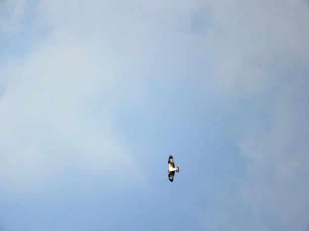宍道湖上空にミサゴ発見♪