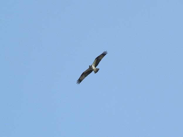 宍道湖の青空を滑空するミサゴ