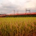 夕陽に染まる稲穂と赤い特急日光号