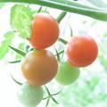 【園芸】プチトマト 2015年[夏]