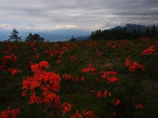 紅いレンゲツツジの野原