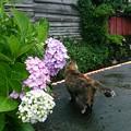 Photos: 紫陽花と猫のある風景