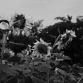 写真: 夏の終わりに