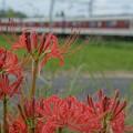 Photos: 彼岸花特集:近鉄南大阪線