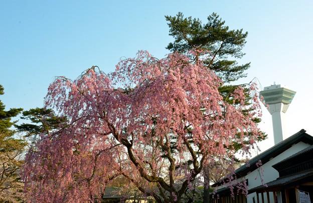 Photos: 五稜郭公園の桜
