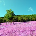 Photos: 北見滝上の芝桜
