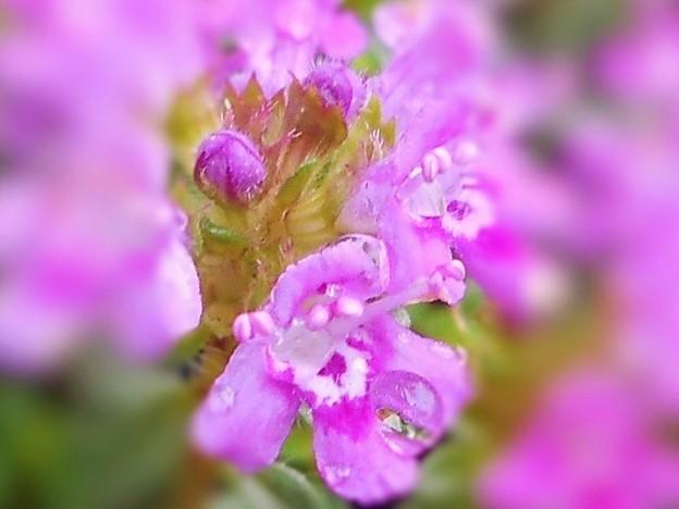 雨に咲く タイムの小花たち