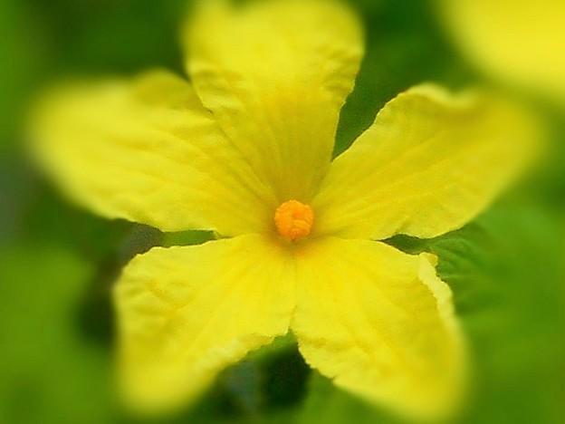 人気の緑のカーテン ゴーヤの花