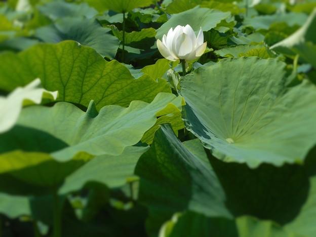 蓮池の白いハスの花