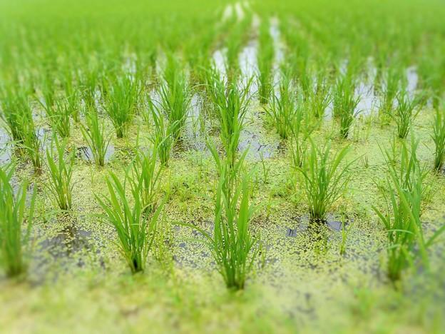 雨期の田んぼ スクスクと育つ