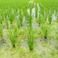 写真: 雨期の田んぼ スクスクと育つ