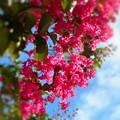 写真: 梅雨明けの空に百日紅(サルスベリ)