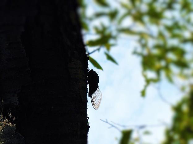 猛暑の桜の幹でワッシワッシワシワシと賑やかです~クマゼミ~