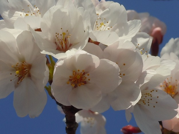 四月六日の瀬戸の桜