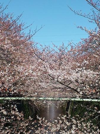 2012.4.4 目黒川の桜