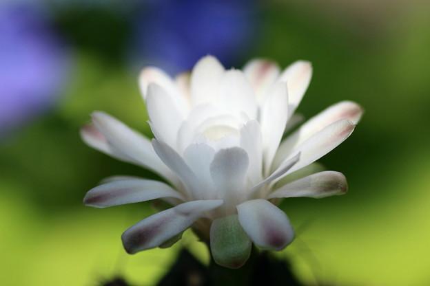 サボテンの花(6)