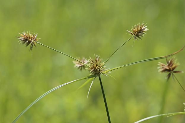 ユメノシマガヤツリ(夢の島蚊帳吊)