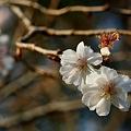 Photos: ジュウガツザクラ(十月桜) バラ 科