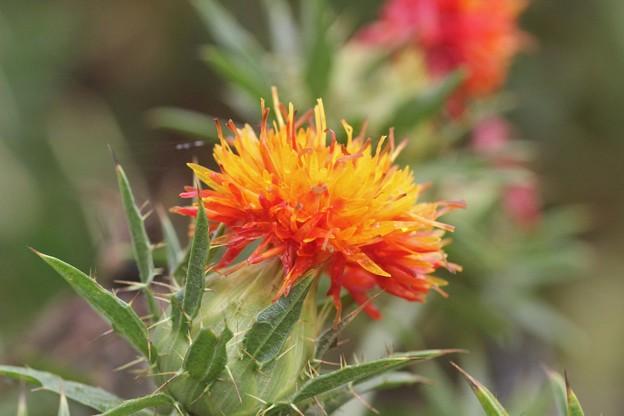 ベニバナ(紅花)  キク科