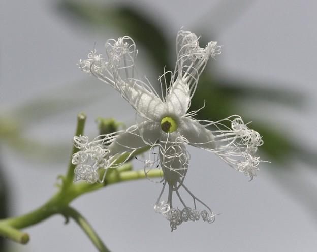 ヘビウリ(蛇瓜)  ウリ科 花